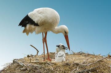 storch und storchenjunge beim füttern