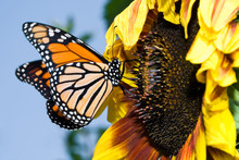 Monarch Butterfly On A Sunflow...