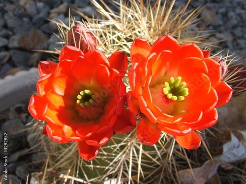 cactusblossoms