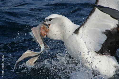 Obraz na plátně  small albatros in action