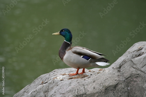 Fotografie, Obraz  wild duck