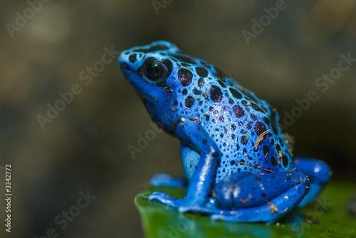 Photo sur Aluminium Grenouille grenouille bleu