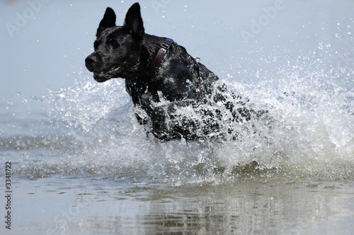 Tablou Canvas black dog in the water