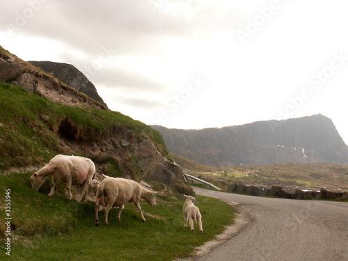 Fotografiet  pecore in fuga