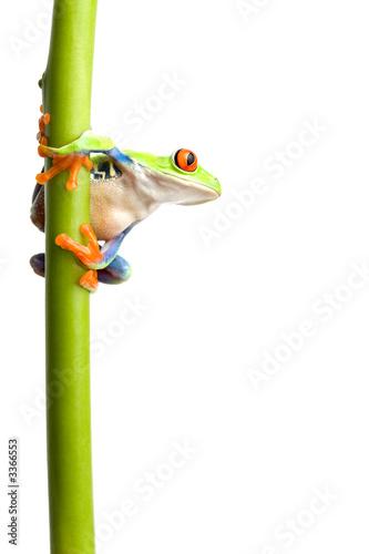 Tuinposter Kikker frog on plant stem isolated