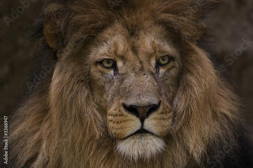Fototapety, obrazy: löwe