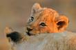 canvas print picture - lion cub