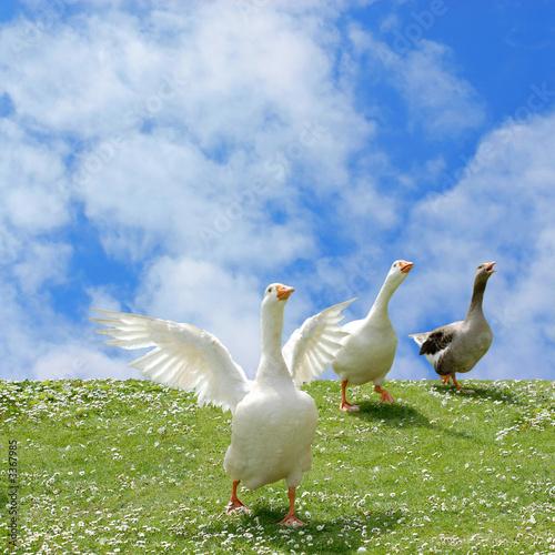 wild goose chase Fototapeta