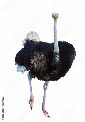 La pose en embrasure Autruche african ostrich isolated on white