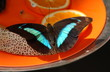 butterfly on a plate of fruit