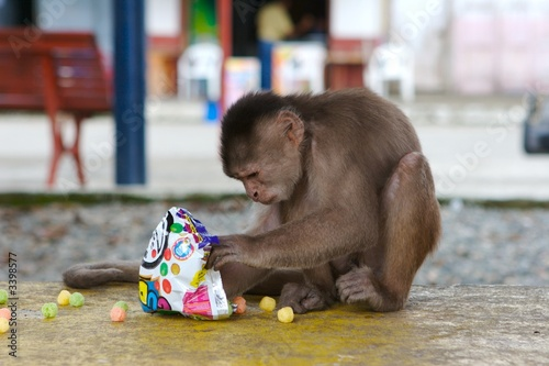 monkey eating chips Canvas Print