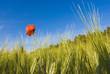 champ de blé et coquelicots