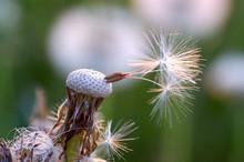 Dandelions #6