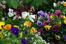 Pretty Pansy Patch
