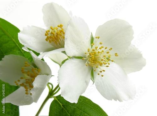 Fotografie, Obraz  jasmine white flowers