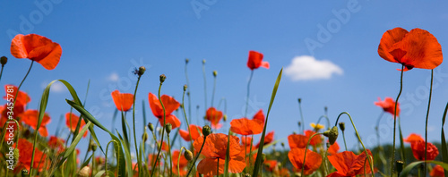 Deurstickers Klaprozen red poppies against a blue sky