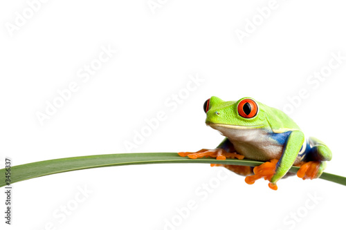 Poster Kikker frog on a leaf