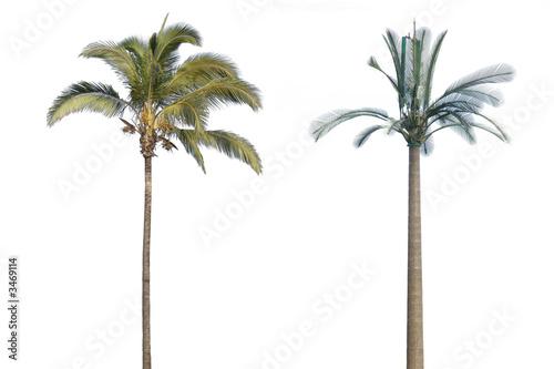 Fotografering  vrai et faux palmiers