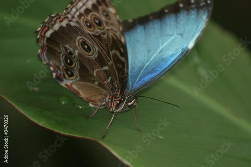Cuadros en Lienzo blue morpho butterfly