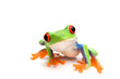 canvas print picture frog closeup on white