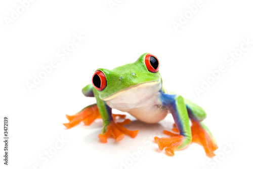 Photo sur Aluminium Grenouille frog closeup on white