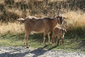 Naklejka na ściany i meble goat family