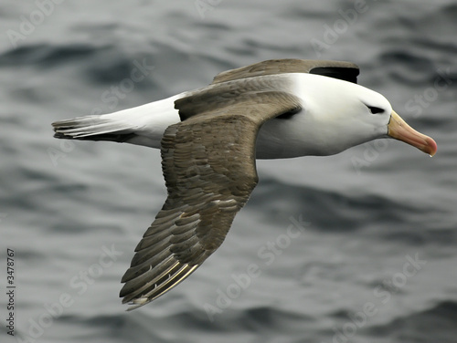 black-browed albatross Tablou Canvas