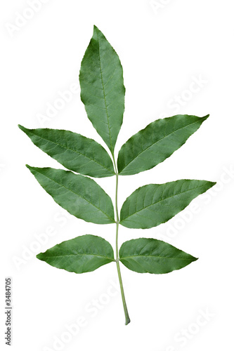 Photo green ash leaf.