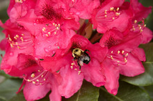 Bee Pollinating An Azalea Bloom