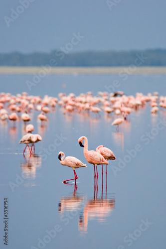 Tuinposter Algerije flamingos
