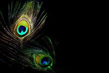 Dancing Queens Peacock Feathers