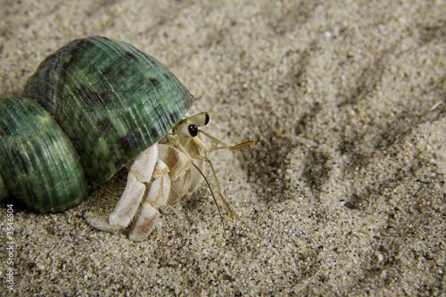 Fototapeta A land hermit crab (coenobita rugosus)