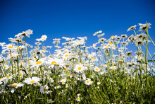 Field Of Daisies Against Bright Blue Sky