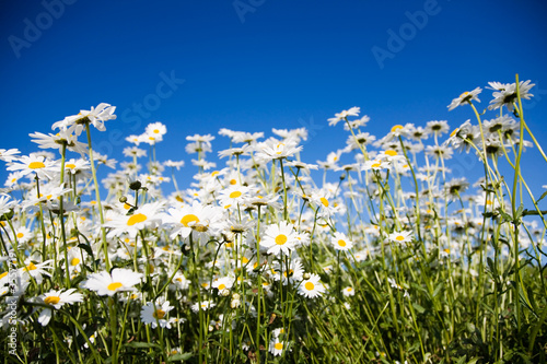 canvas print motiv - Kati Finell : Field of daisies against bright blue sky