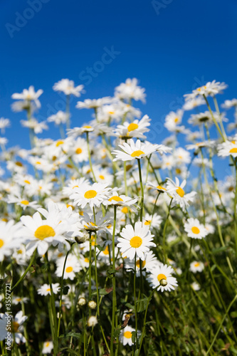 Foto-Kissen - Field of daisies against bright blue sky (von Kati Finell)