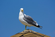 Seagull On The Beach In Califo...