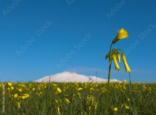 Fényképezés  prato fiorito con  fiore giallo e Etna innevata bianca