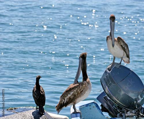 Foto op Plexiglas Caraïben Two Pelicans and a Gull