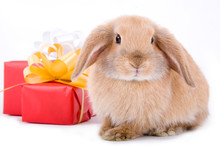 Lop Bunny Before Two Red Gift Box, Isolated