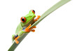 frog sitting on a narrow leaf isolated on white