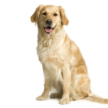 Labrador Retriever Cream In Front Of White Background