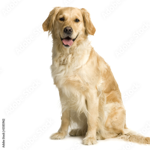 Labrador retriever cream in front of white background Tableau sur Toile