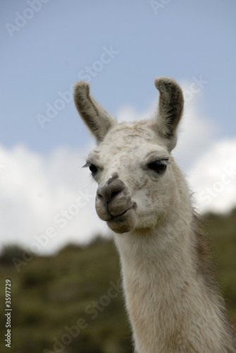 Staande foto Lama Peruvian Llama