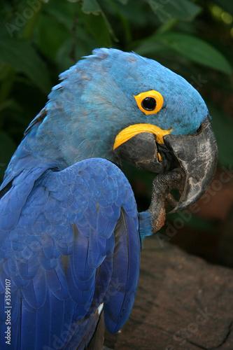 Foto op Aluminium Papegaai Beautiful Blue Macaw