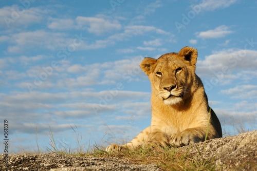 Fototapety, obrazy: Lioness with blue sky