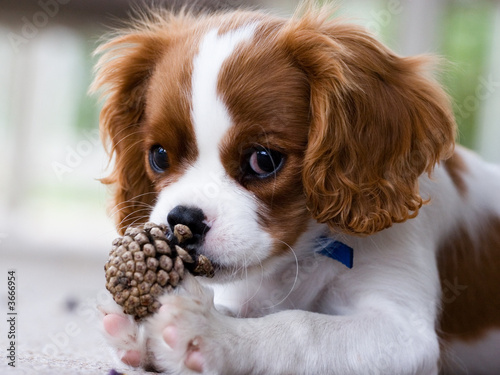 Fotomural Cavalier King Charles Spaniel Puppy