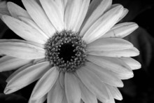 Daisey, In Black And White