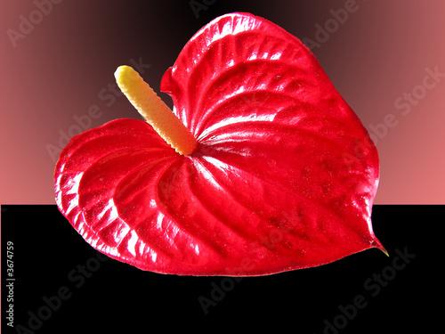 Obraz na plátně Tropical Anthurium