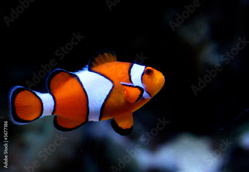 Tablou Canvas Striped Clownfish