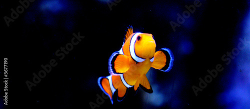 Striped Clownfish Tablou Canvas